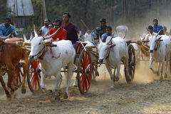 Традиционная гонка тележки вола стоковое изображение rf