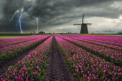Традиционное голландское поле тюльпанов Стоковые Фото