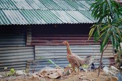 Традиционное свободное сельское хозяйство птицы ряда в Таиланде Стоковая Фотография