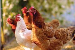 Традиционное свободное сельское хозяйство птицы ряда Стоковое фото RF