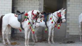 Традиционные белые лошади для ехать видеоматериал