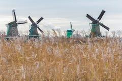 Традиционные голландские ветрянки и семя заболоченного места сухое камышовое возглавляют развевать на ветре Стоковая Фотография RF