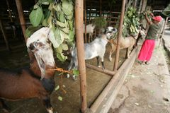 Традиционный рынок козы Стоковая Фотография RF