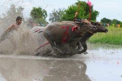 Традиция индийского буйвола стоковое изображение rf