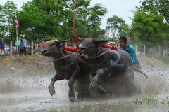 Традиция индийского буйвола стоковые изображения rf