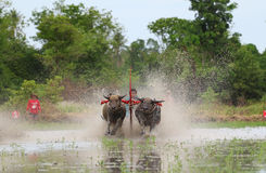 Традиция индийского буйвола стоковые изображения