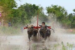 Традиция индийского буйвола стоковая фотография