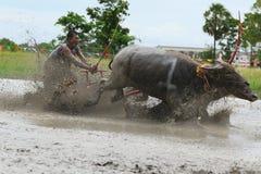 Традиция индийского буйвола стоковая фотография rf