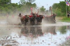 Традиция индийского буйвола стоковое фото rf