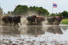 Традиция индийского буйвола стоковое изображение
