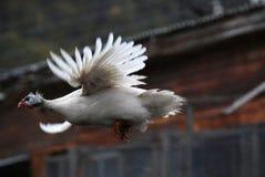 тренер куриц летания типа высокий Стоковые Изображения RF