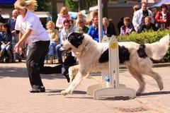 тренировка выставки собаки Стоковые Изображения RF