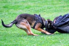 Тренировка полицейской собаки Стоковая Фотография