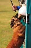 тренировка собаки Стоковые Фото