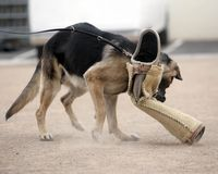 тренировка собаки k9 полисмена нападения Стоковое фото RF