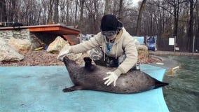 Тренировка уплотнений гавани (vitulina настоящего тюленя) акции видеоматериалы