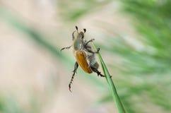 Тренировки для тучного старого жука Стоковое Изображение
