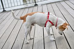 трескает любознательний peeking собаки decking Стоковое Фото