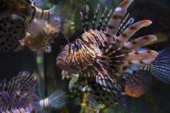 Треска бабочки рыб Стоковое Изображение RF