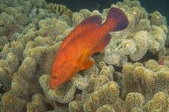 Треска коралла стоковая фотография