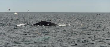 Треска накидки, подныривание кита в море Стоковое Изображение RF