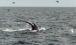 Треска накидки, подныривание кита в море Стоковое фото RF