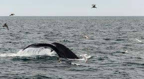 Треска накидки, подныривание кита в море Стоковые Фотографии RF