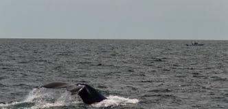 Треска накидки, подныривание кита в море Стоковое Фото