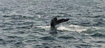 Треска накидки, подныривание кита в море Стоковая Фотография