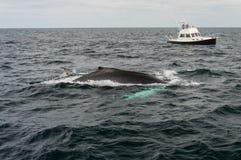 Треска накидки, подныривание кита в море Стоковые Изображения
