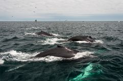 Треска накидки, подныривание кита в море Стоковая Фотография RF