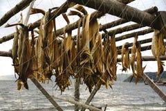 Трески рыб засыхания Стоковые Изображения RF