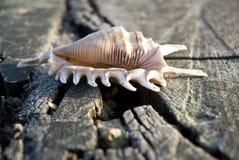 треснутая древесина seashell Стоковые Изображения