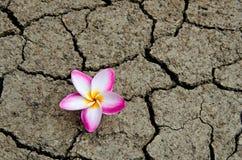 Треснутая и высушенная почва с цветком пинка Plumeria Стоковое фото RF