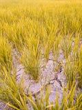 Треснутая почва в высушенном поле падиа Причина глобальным потеплением Стоковые Фото