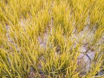 Треснутая почва в высушенном поле падиа Причина глобальным потеплением Стоковые Фотографии RF