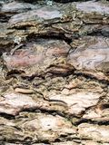 Треснутая расшива старого хобота большой сосны Стоковая Фотография