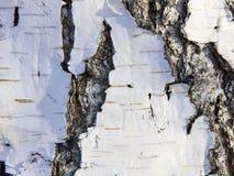Треснутая расшива старой березы Стоковое Изображение