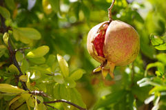 Треснутый pomegranate Стоковые Изображения RF