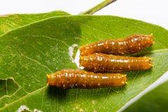Третья гусеница instar соединенной бабочки swallowtail Стоковое фото RF