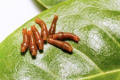 Третья гусеница instar соединенной бабочки swallowtail Стоковые Фото