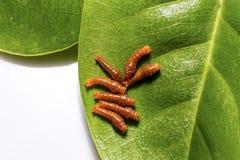Третья гусеница instar соединенной бабочки swallowtail Стоковые Фотографии RF