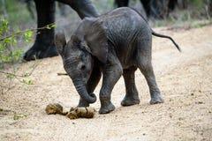 Трехмесячный старый слон играя футбол с навозом Стоковые Изображения