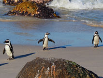 Трио африканских пингвинов на пляже Больдэра, городке Simon, Южной Африке стоковые фотографии rf