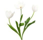 Трио белых тюльпанов Стоковая Фотография RF