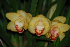 Трио желтых и красных цветя цветений орхидеи Стоковое Фото