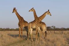 Трио жирафа Стоковые Изображения