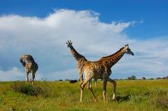 Трио жирафа Стоковая Фотография