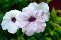 Трио зацветая белых цветков петуньи Стоковые Фотографии RF