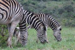 Трио зебры пася Стоковое Фото